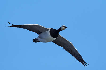 Barnacle goose in flighe with blue skies in the background Stock fotó - 102848041