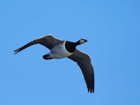 Barnacle goose in flighe with blue skies in the background Stock fotó - 102902121