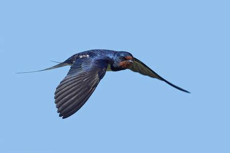 Barn swallow in its natural habitat in Denmark