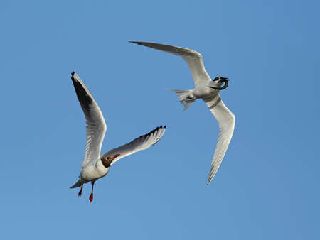 Sandwich tern chased by a Black-headed gull in its natural habitat in Denmark