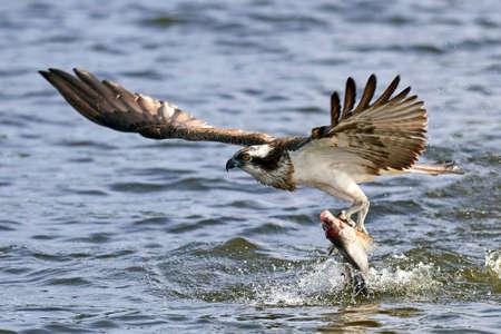 Osprey in flight in its natural habitat