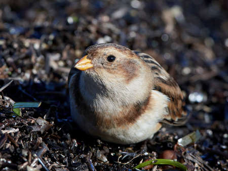 Snow bunting in its natural habitat in Denmark