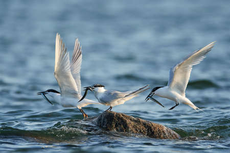 Sandwich tern in its natural habitat in Denmark Banque d'images - 104237949