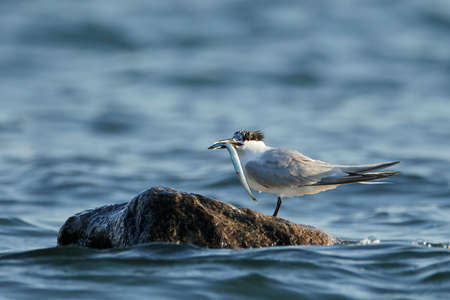 Sandwich tern in its natural habitat in Denmark Banque d'images - 104237950