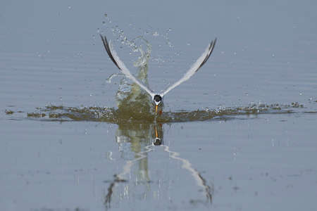 Little tern in its natural habitat in Denmark Banque d'images - 104241184
