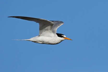 Little tern in its natural habitat in Denmark Banque d'images - 104516490