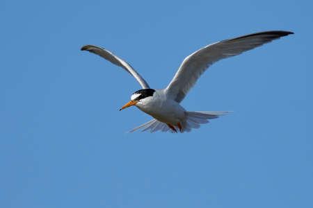 Little tern in its natural habitat in Denmark Banque d'images - 104516488