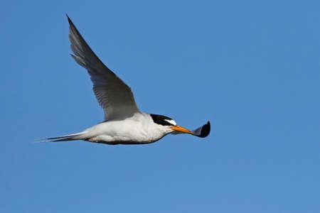 Little tern in its natural habitat in Denmark Banque d'images - 104516493