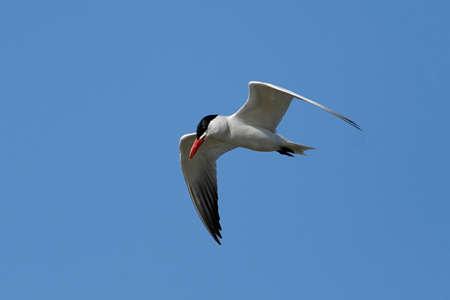 Caspian tern in its natural habitat in Denmark Banque d'images - 105554001