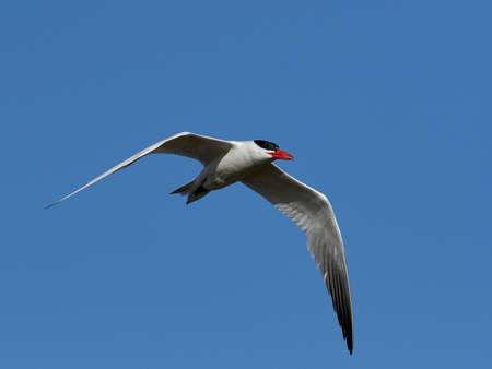 Caspian tern in its natural habitat in Denmark Banque d'images - 105577929