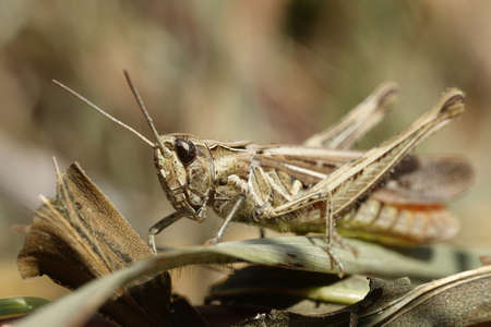 Closeup image of a Grasshopper sitting on vegetation