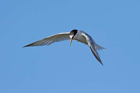 Little tern in its natural habitat in Denmark Banque d'images - 104781800