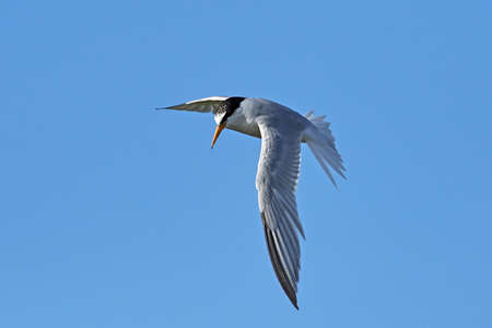 Little tern in its natural habitat in Denmark Banque d'images - 104781808