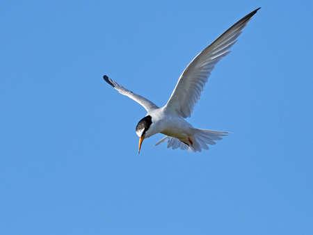 Little tern in its natural habitat in Denmark Banque d'images - 104781810