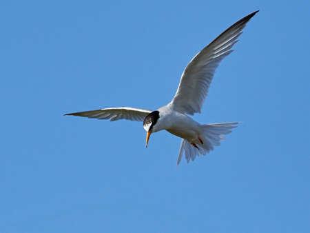Little tern in its natural habitat in Denmark Stock Photo