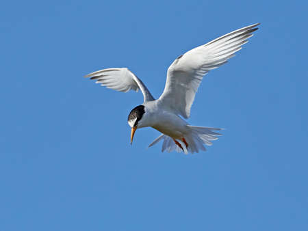 Little tern in its natural habitat in Denmark Banque d'images - 104781812