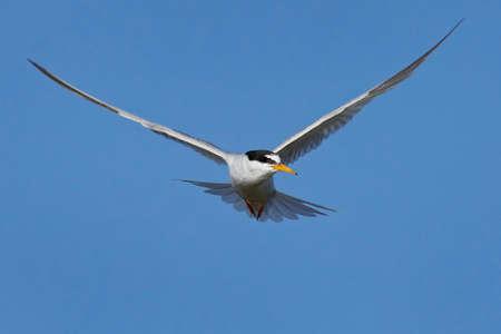 Little tern in its natural habitat in Denmark Banque d'images - 104781814