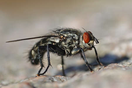 Macro photo of the Flesh fly seen from the side Archivio Fotografico