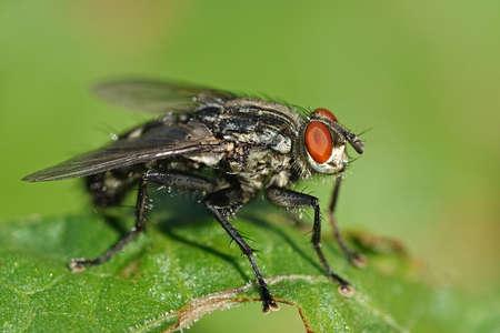 Foto macro della mosca Flesh vista di lato