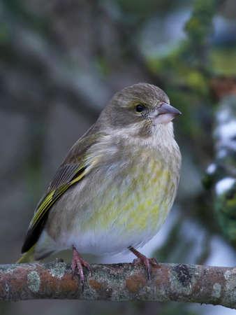 European greenfinch in its natural habitat