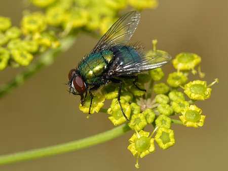 Calliphoridae fly seen from the side in sunlight Stock Photo