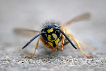 Macro photo of the Common wasp (Vespula vulgaris)