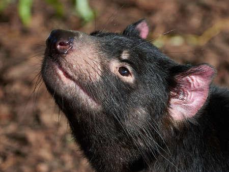 Closeup portrait of a black Tasmanian Devil