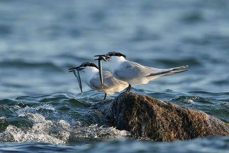Sandwich tern in its natural habitat in Denmark Banque d'images - 106384943