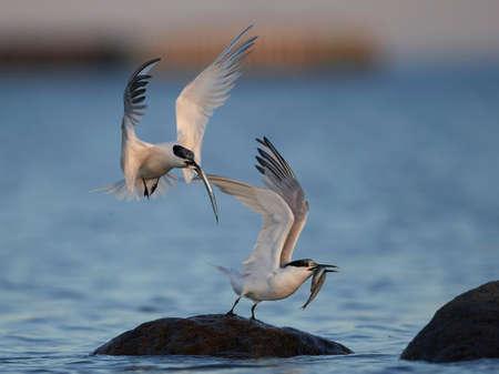 Sandwich tern in its natural habitat in Denmark Stock Photo