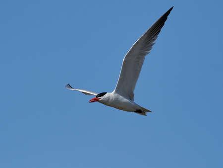 Caspian tern in its natural habitat in Denmark
