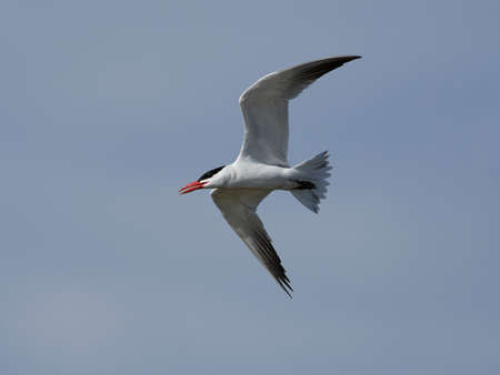 Caspian tern in its natural habitat in Denmark Banque d'images - 106494633