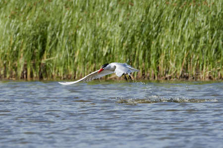 Caspian tern in its natural habitat in Denmark Banque d'images - 106494634