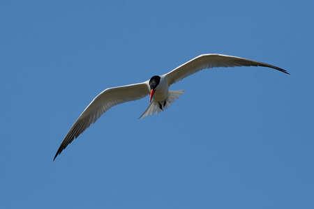 Caspian tern in its natural habitat in Denmark Banque d'images - 106996483