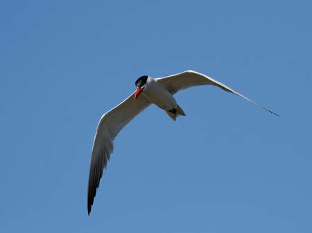 Caspian tern in its natural habitat in Denmark Banque d'images - 106996485