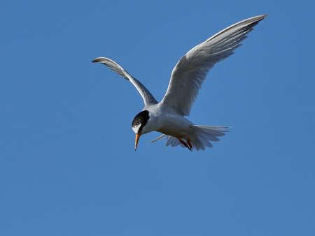Little tern in its natural habitat in Denmark Banque d'images - 106996491