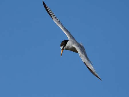 Little tern in its natural habitat in Denmark Banque d'images - 106996496