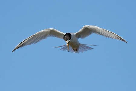 Little tern in its natural habitat in Denmark Banque d'images - 106996501