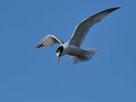 Little tern in its natural habitat in Denmark Banque d'images - 106996502