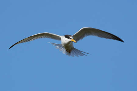 Little tern in its natural habitat in Denmark Banque d'images - 106996503