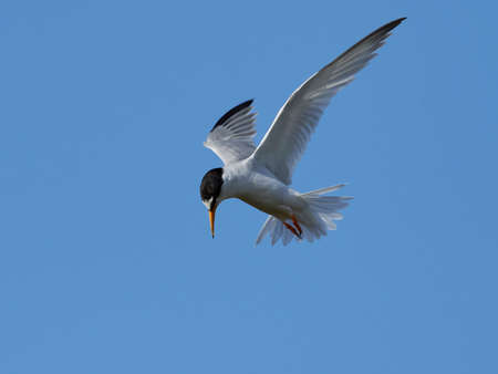 Little tern in its natural habitat in Denmark Banque d'images - 106996506