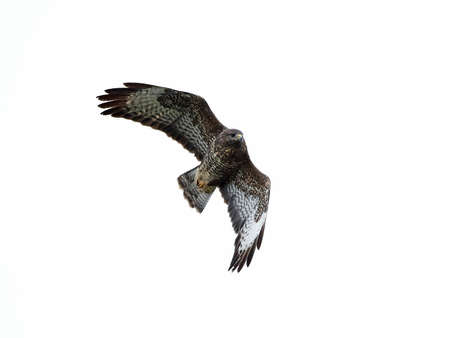 Common buzzard in flight isolated on a white background