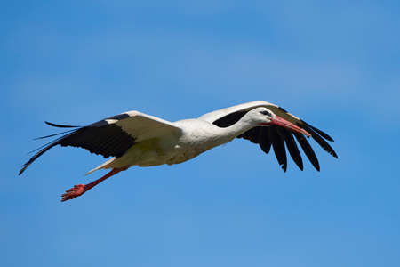 White stork in flight with blue skies in the background