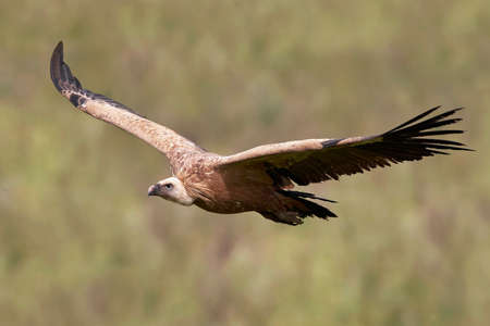 Griffon vulture in flight with vegetation in the background Stock Photo