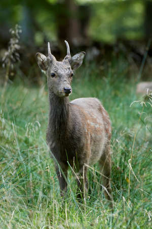 Sika deer in its natural habitat in Denmark