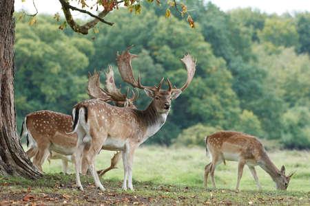 Fallow deer in its natural habitat in Denmark Standard-Bild