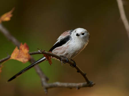 Long-tailed tit in its natural habitat in Denmark