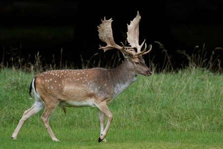Damwild in seinem natürlichen Lebensraum in Dänemark