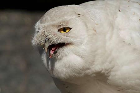 Snowy owl (Bubo scandiacus) Stockfoto