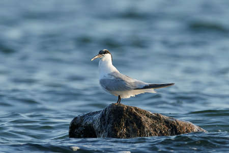 Sandwich tern in its natural habitat in Denmark Banque d'images - 113598788