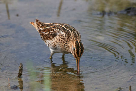 Common snipe looking for food in its natural habitat